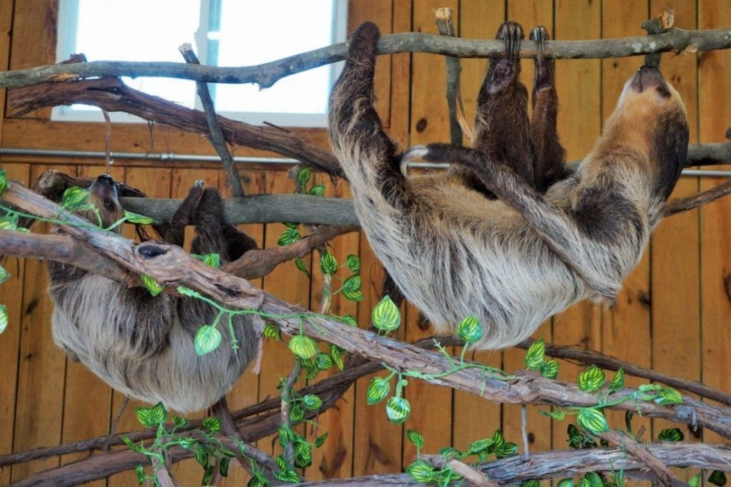 two three toes sloths hang on branches on exhibit at animal adventure park