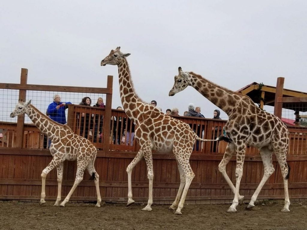 momma daddy and baby giraffe greet guests on the visitor deck at animal adventure park