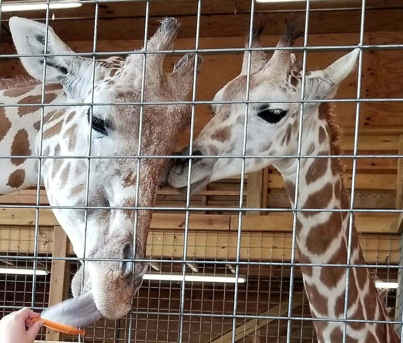 momma giraffe and baby giraffe greet a visitor and eat carrots