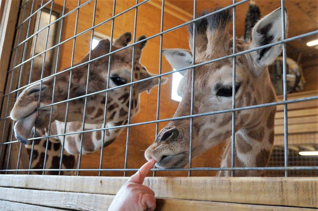 momma and baby giraffe greet a visitor who is bopping the baby on the nose