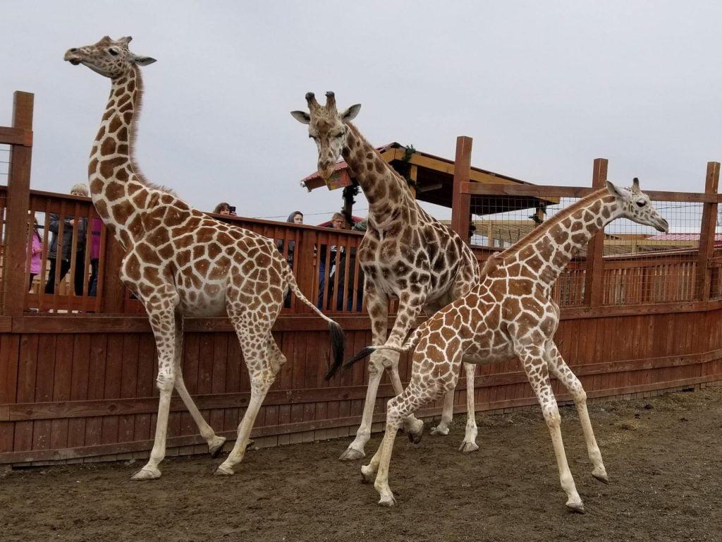 three giraffes greet park guests at the feeding deck