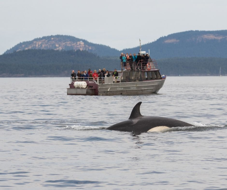 Orca whale breaches in the water with a boat of tourists watching in the background and mountains