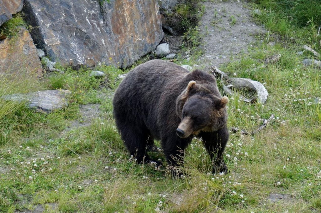 alaskan brown bear meandering through a field