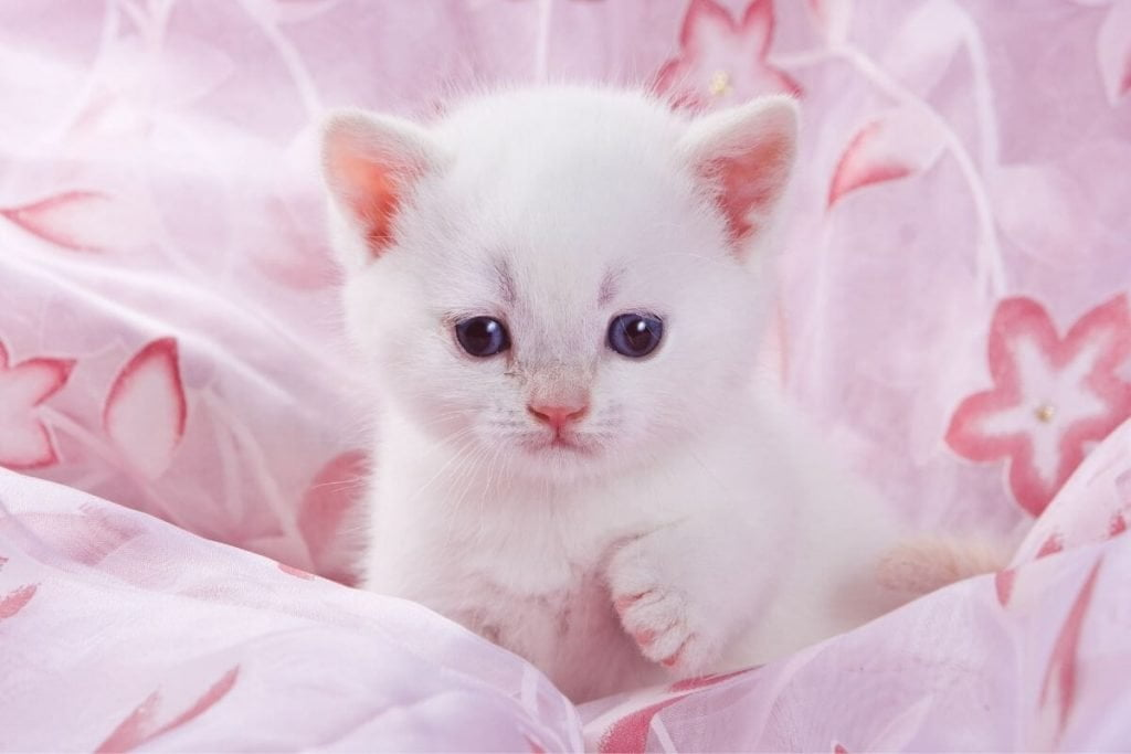 white kitten sitting in a pink blanket with her paw up in the air