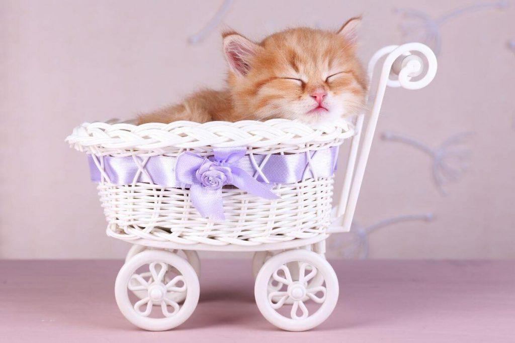 tan kitten asleep in a white wicker basket with a purple bow