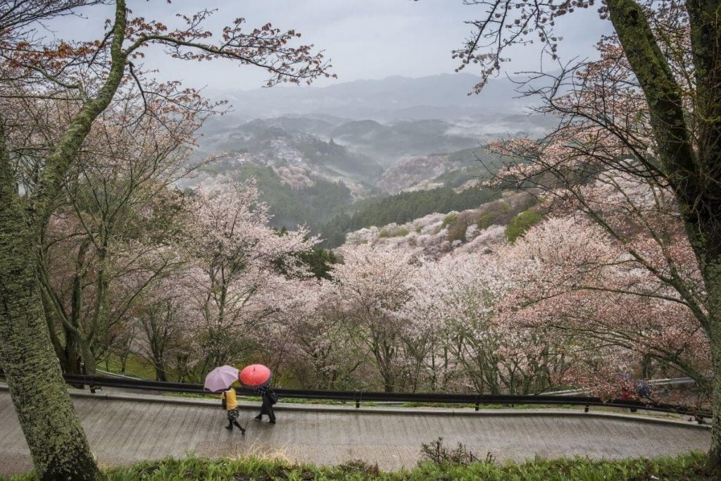 two travelers walk with umbrellas along a path in the mountains with beautiful pink trees
