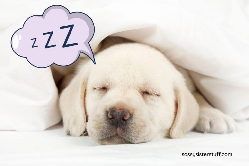 white puppy sleeping under a white blanket clearly fully relaxing and not overwhelmed